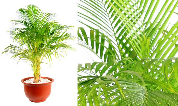 areca-plantas-ambientes-fechados