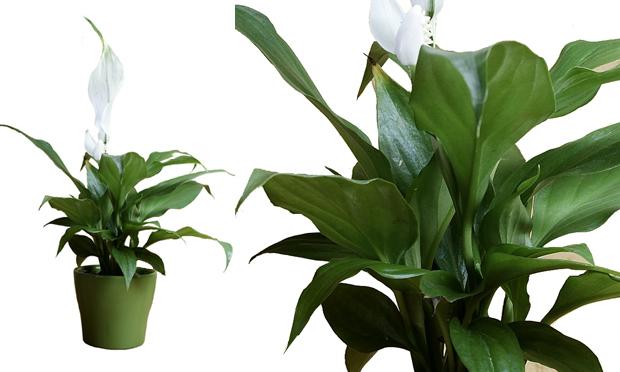 lirio-da-paz-plantas-ambientes-fechados
