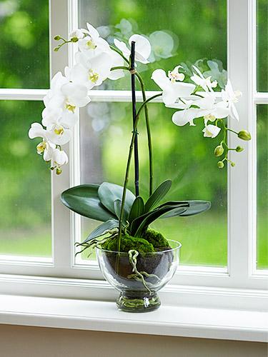 Phalaenopsis - Orquidea. Florescem anualmente e precisam de muito pouco.